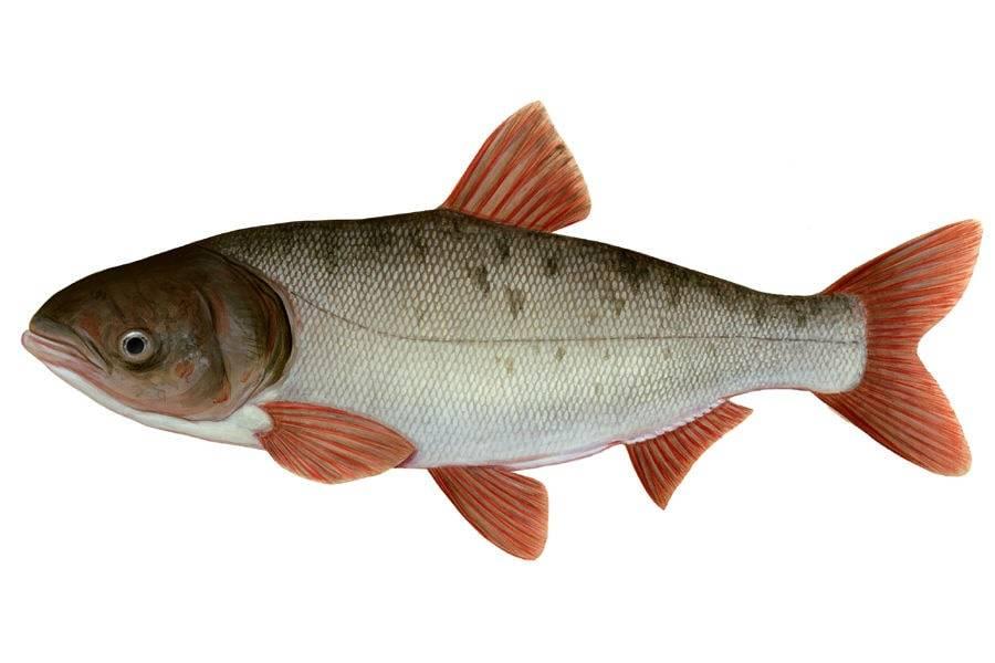 Рыба толстолобик: как выглядит, где водится, какой у нее максимальный вес и пищевая ценность