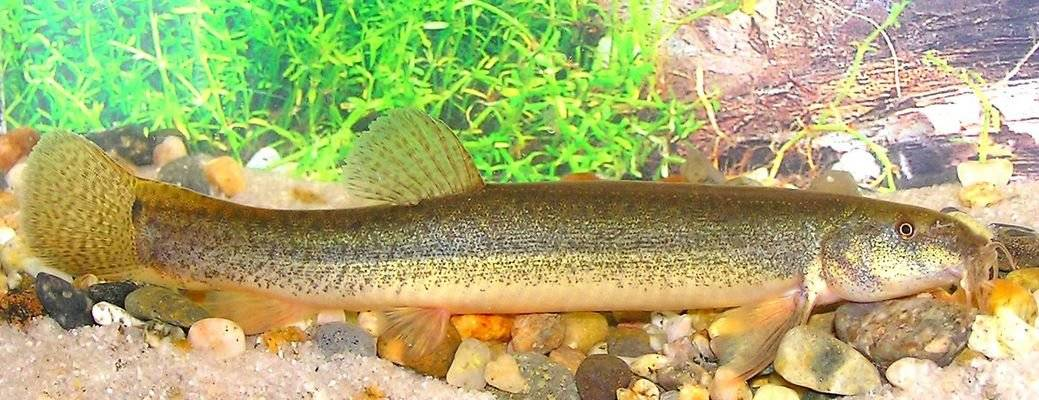 Рыба вьюн: (внешний вид, места обитания и образ жизни пискуна)