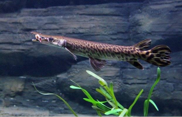 Панцирная щука - миссисипский панцирник – в аквариуме через 100 миллионов лет