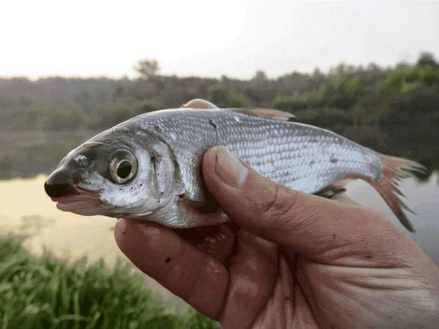 Рыба карп: как выглядит, где обитает, виды, рацион