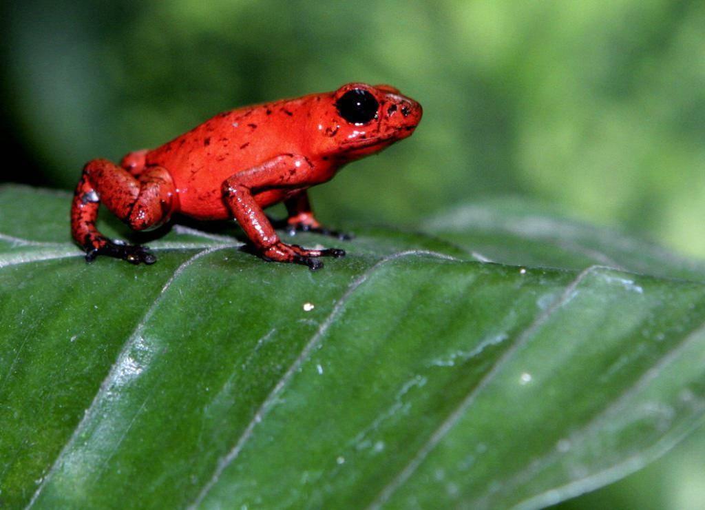 Самые ядовитые лягушки в мире: топ 13 опасных лягушек