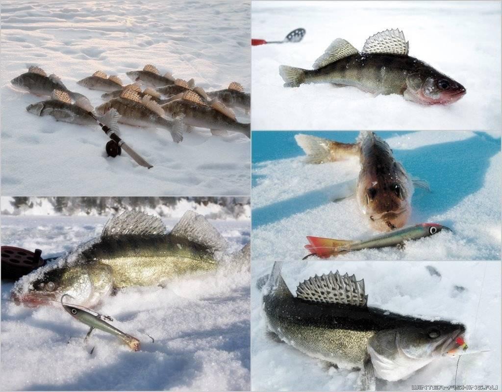 Ловля судака по первому льду: особенности рыбалки в декабре
