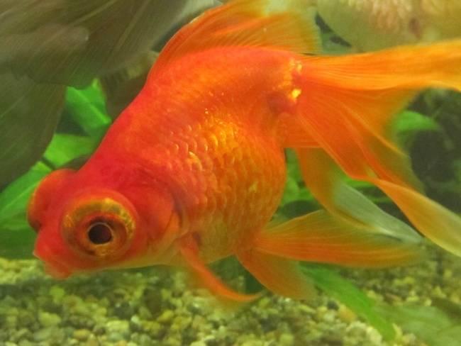 Золотая рыбка: уход,содержание,разведение,совместимость,описание.