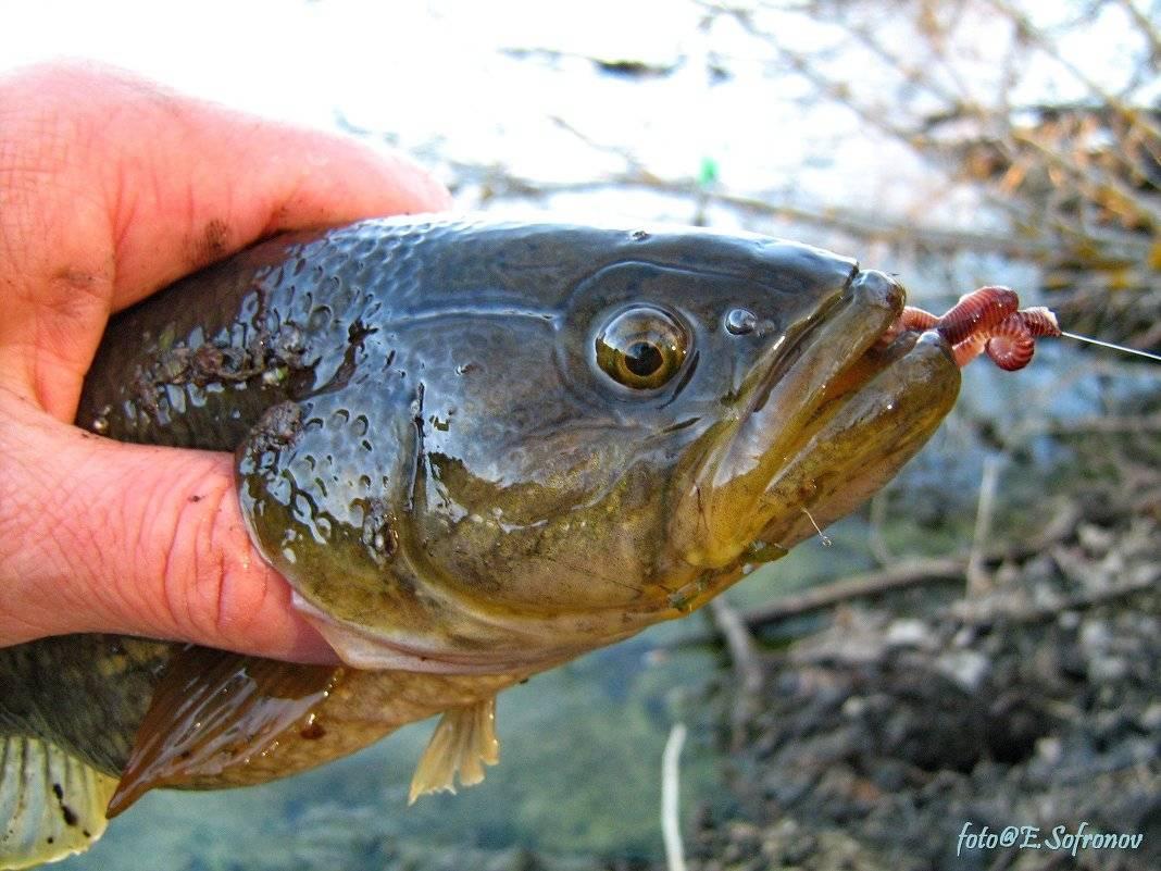 Рыба ротан – съедобная или нет?