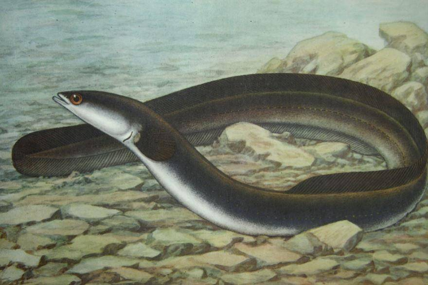 Загадочная рыба змея — угорь: где обитает и на что ловят. ангулас — малёк угря
