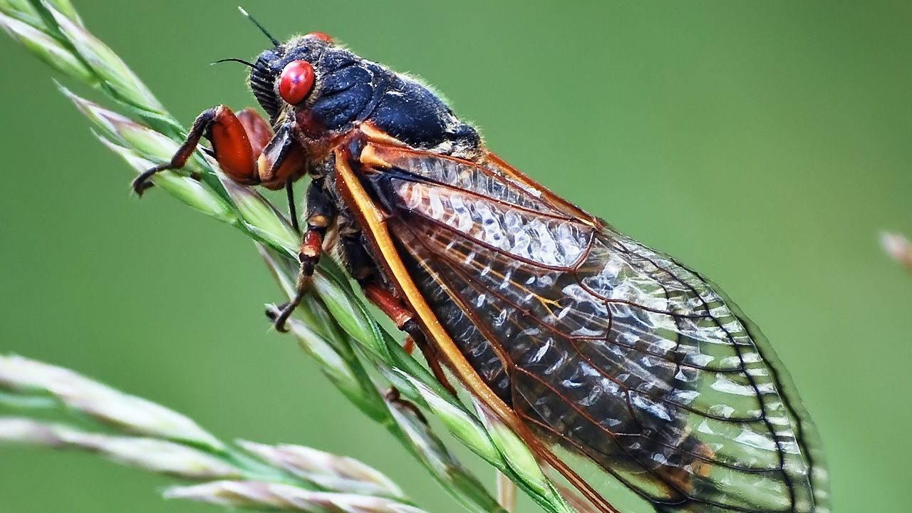 Муха цикада — nasekomie