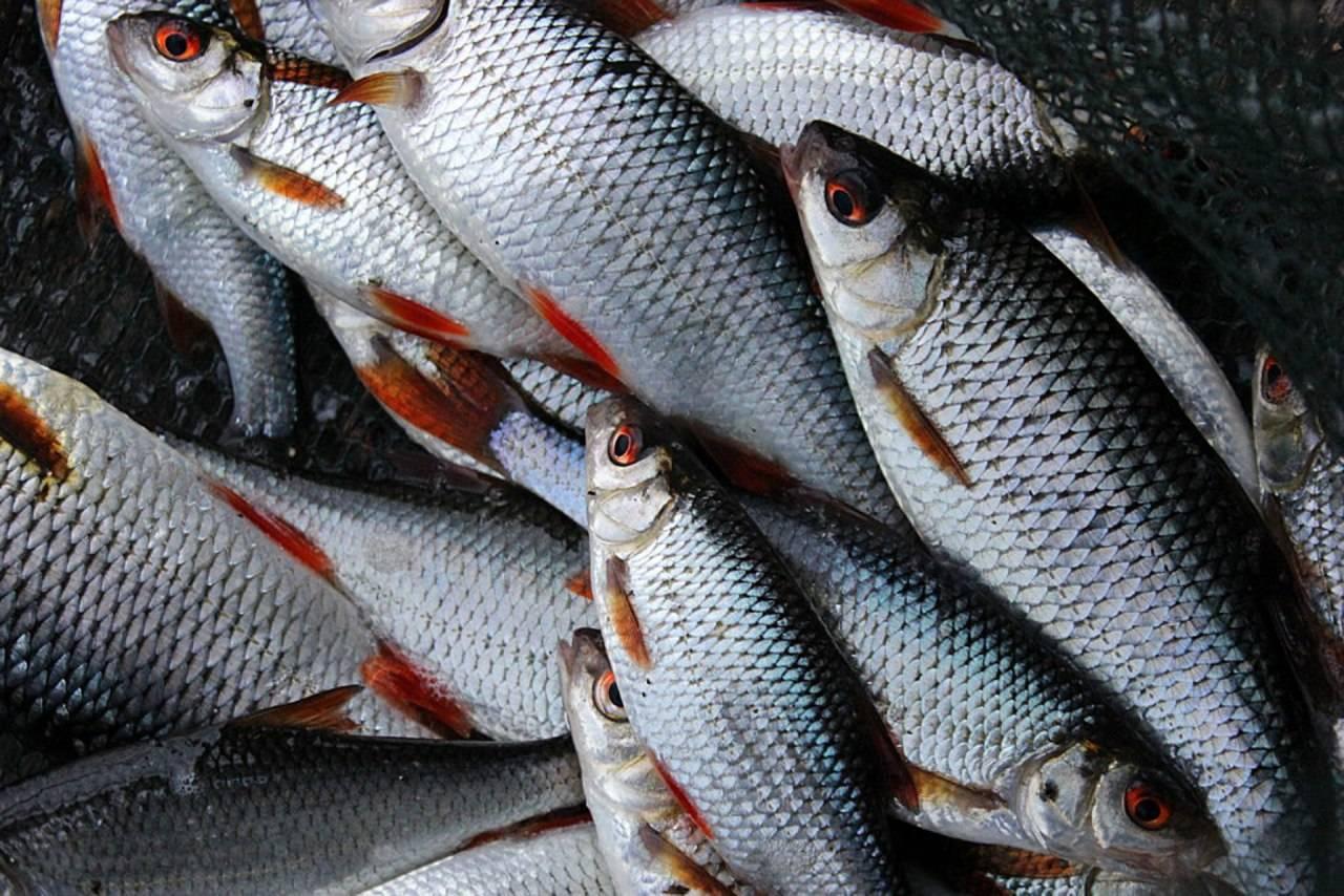 Чебак или плотва: тонкости ловли сибирской рыбы