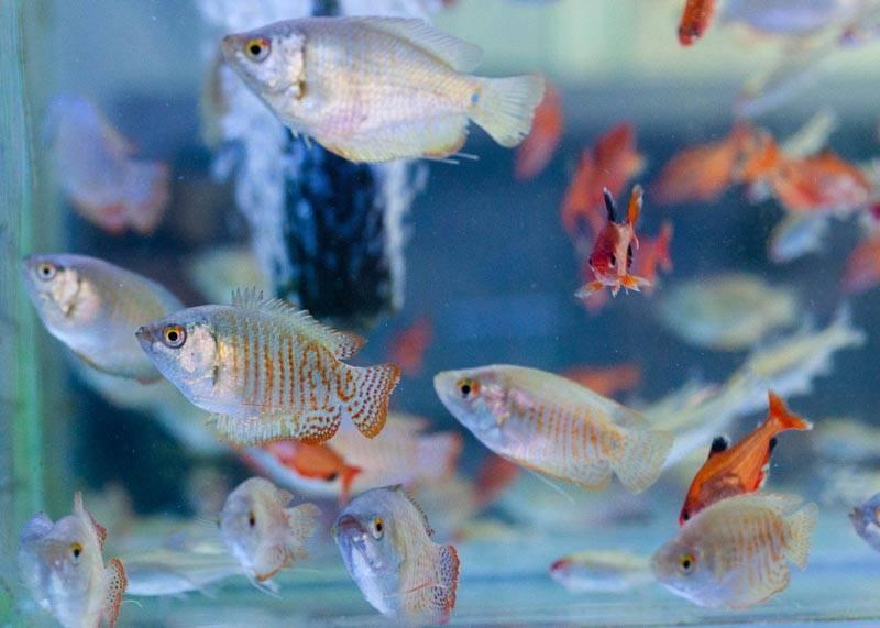 Лялиус: уход и содержание, фото и совместимость с другими рыбками