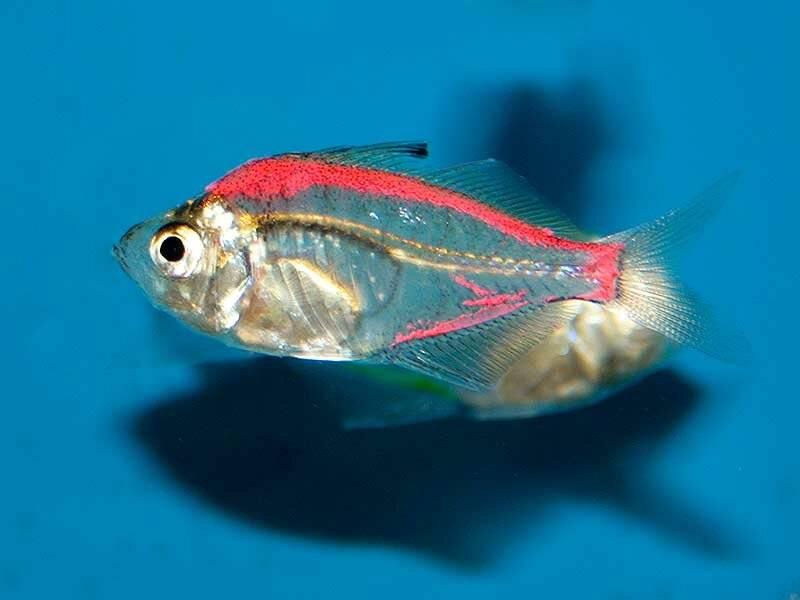 Прозрачные рыбки для аквариума: виды с фото и описанием прозрачные рыбки для аквариума: виды с фото и описанием