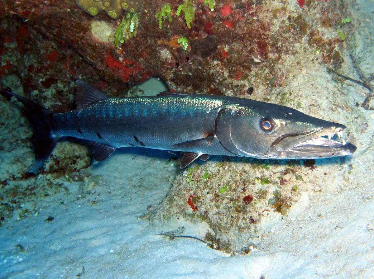 Рыба барракуда: виды, описание, где обитает, чем питается :: syl.ru