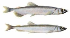 ᐉ биологическая характеристика рыбы корюшки и способы ее ловли - ✅ ribalka-snasti.ru