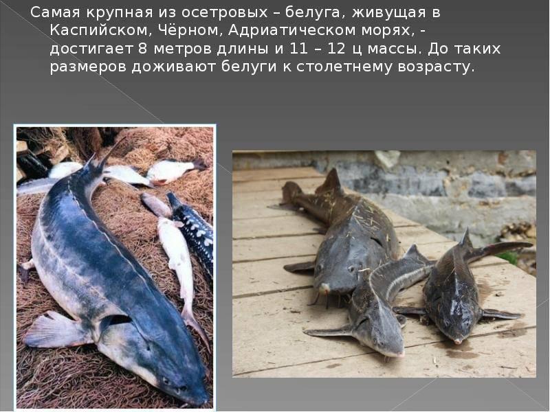 Калуга (рыба): описание, фото