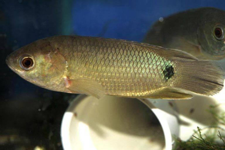 Рыба анабас (ползун): внешний вид, поведение, продолжительность жизни, параметры воды, совместимость, фото, размножение