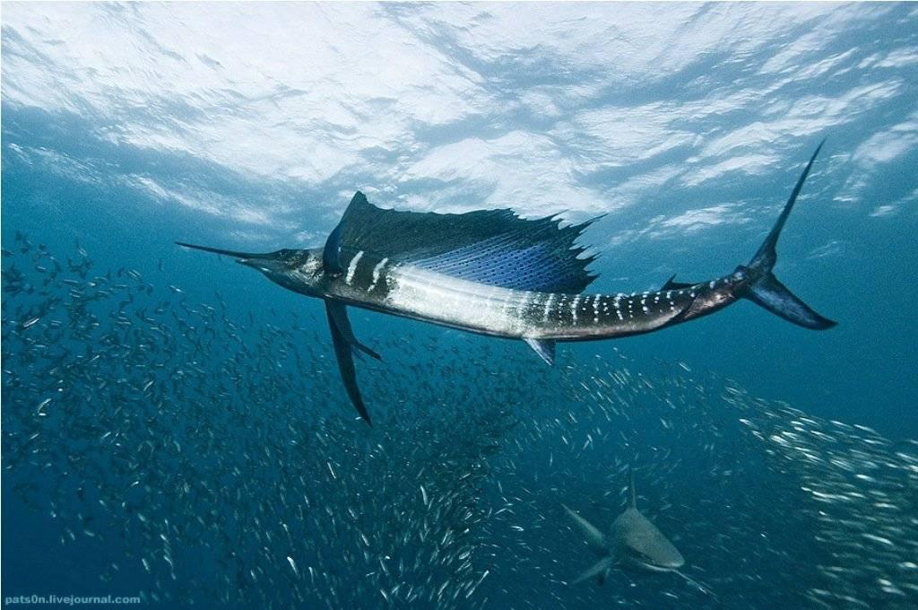 Какие из представителей подводного мира развивают большую скорость, какая рыба является самой быстрой в мире
