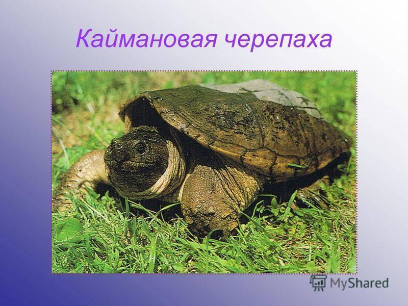 Кожистая черепаха или лут