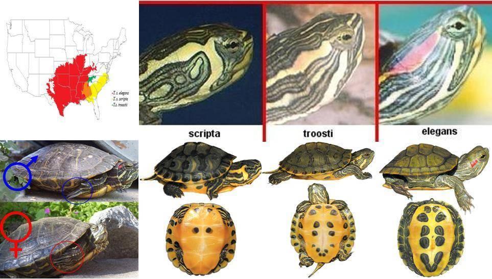 Как определить пол черепахи красноухой и возраст