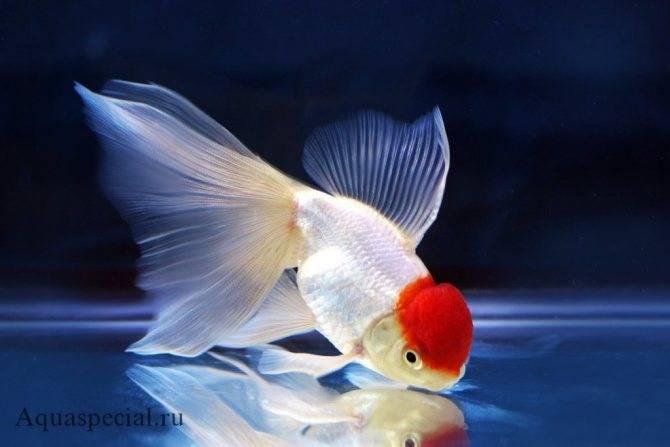 Золотая рыбка:  содержание и уход в домашних условиях, виды