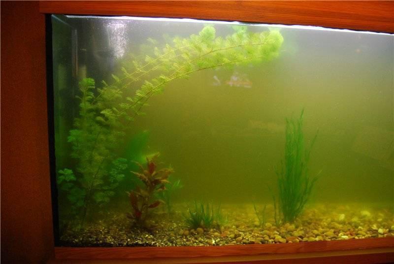 Зеленеет вода в аквариуме: причины, избавляемся