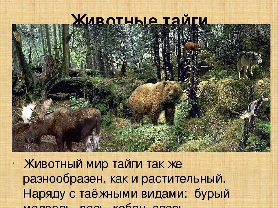 Уссурийская тайга: растения, животные, особенности