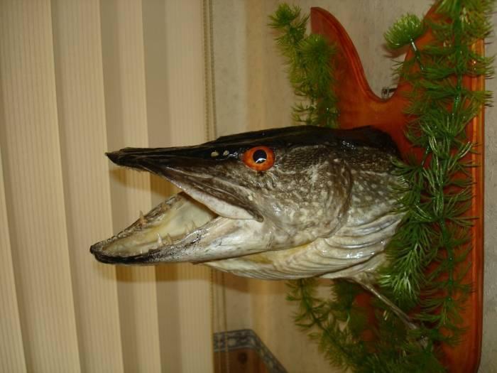 Как сделать чучело из рыбы
