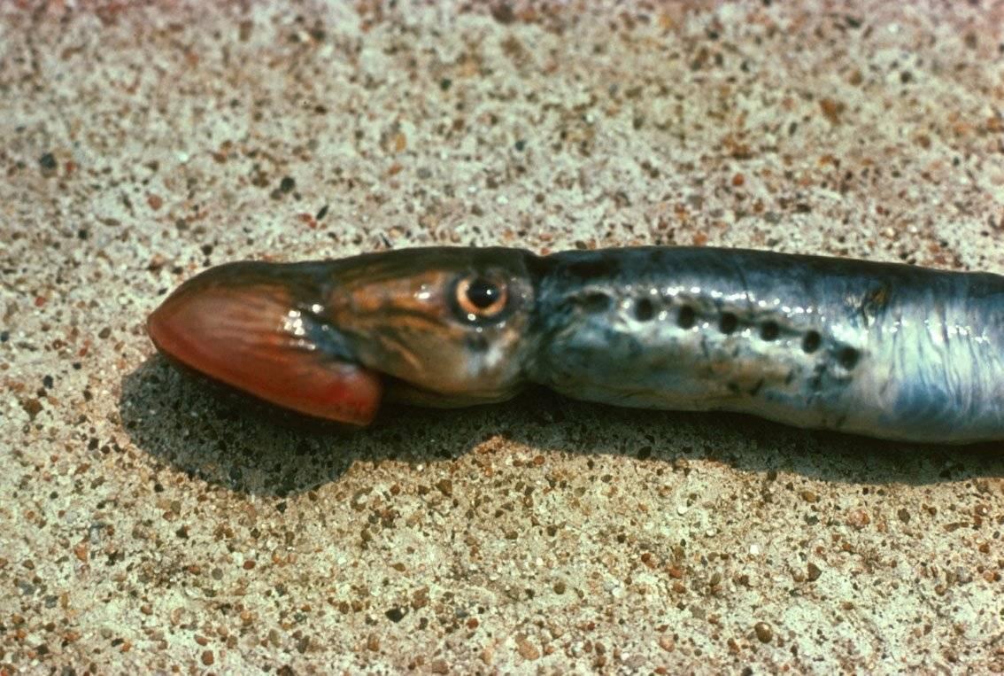 Минога: рыба это или другое животное. можно ли есть миногу