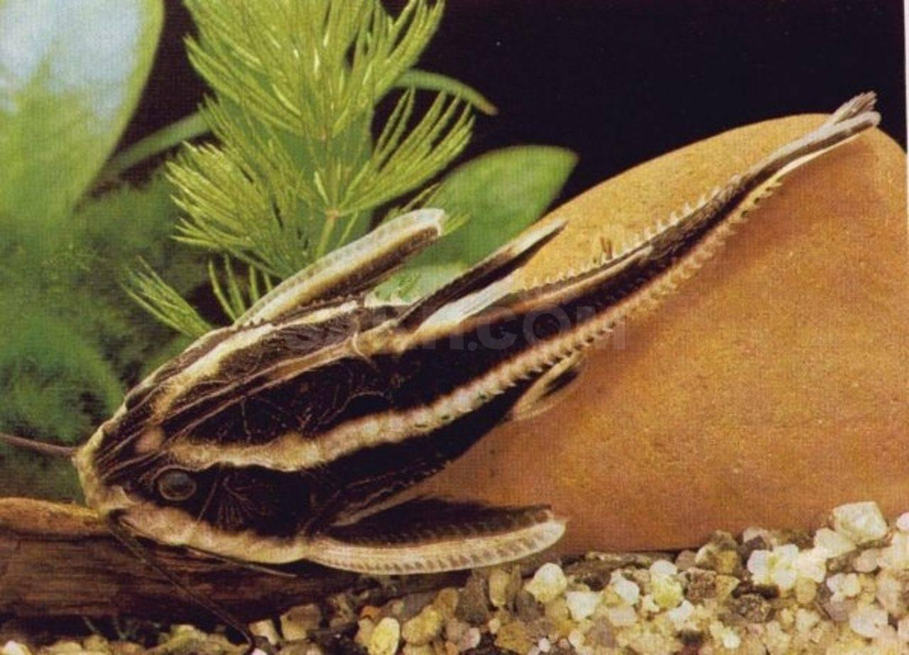 Платидорас сом. описание, особенности, виды и содержание сома платидораса
