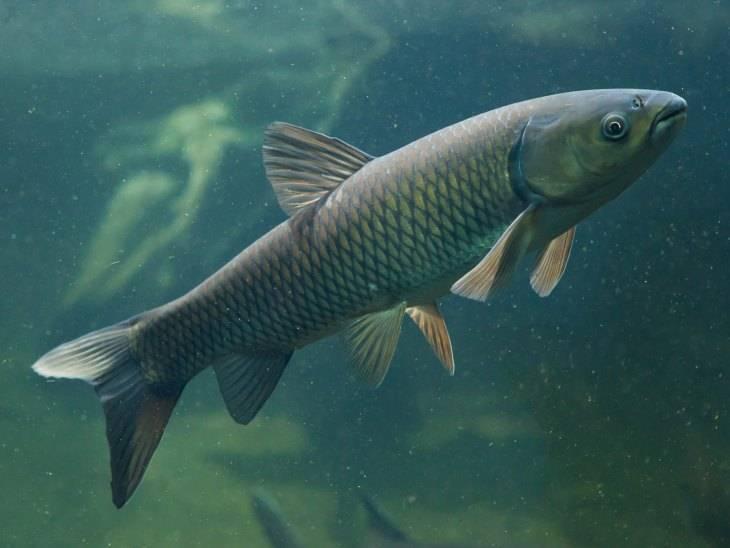 Особенности белого амура и секреты рыбалки на него: выбор снастей и насадок