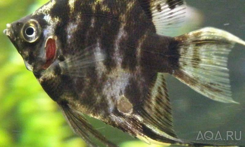 Чем могут заболеть скалярии в домашнем аквариуме?