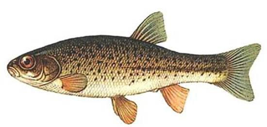 Рыбалка на гольяна — что нужно учесть?