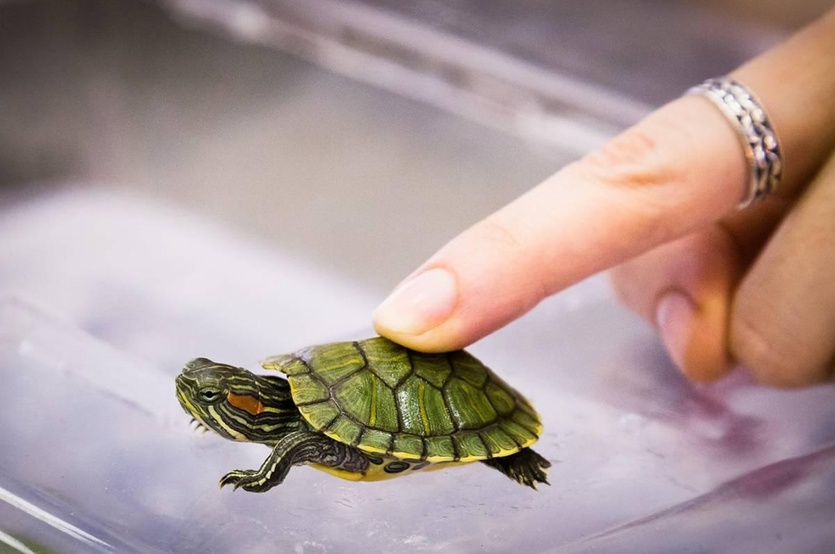 Как ухаживать за домашней черепахой — содержание, кормление и здоровье черепашки   вокруг нас