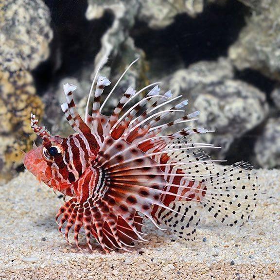 Лабео: содержание в аквариуме, виды