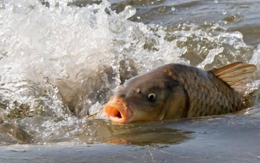 Когда начинается нерест лосося и сколько он длится?