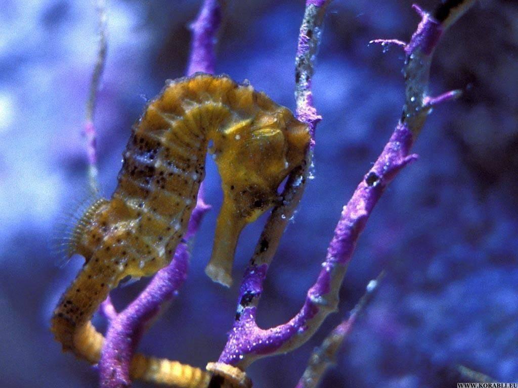 Морской конек: строение животного и среда его обитания, виды и размеры, продолжительность жизни