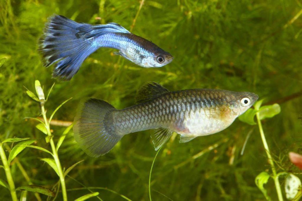 Размножение рыбок гуппи в домашних условиях