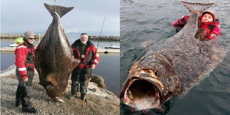 Рыба палтус: вы хоть знаете, кого едите? — 4 лапки