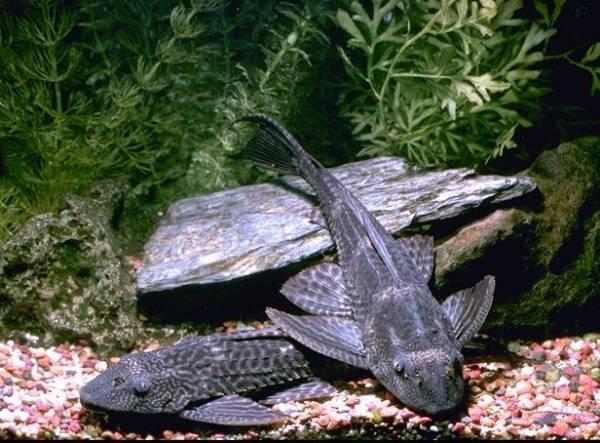 Платидорас полосатый: содержание, кормление и совместимость сомика в аквариуме