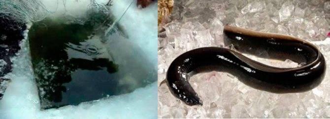 Вьюн: 115 фото как и на что ловить вьюна. рекомендуемые снасти и образ жизни рыбы