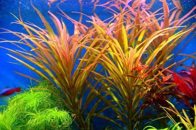 Содержание растения погостемон хелфери в аквариумных условиях
