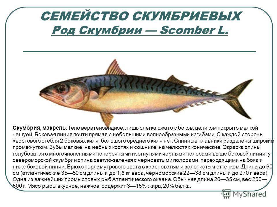 Макрурус (хоки): что за рыба, где водится, описание, польза и вред