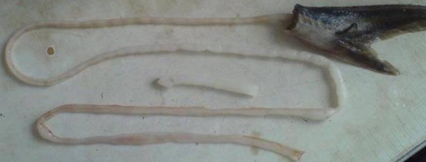Как почистить и разделать стерлядь в домашних условиях