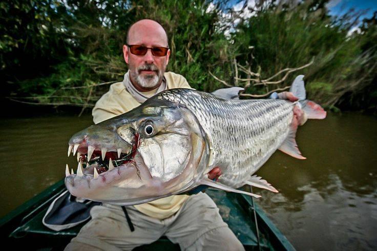 Рыба голиаф: фото, содержание, видео рыба голиаф: фото, содержание, видео