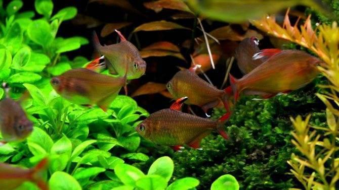 Оранда — рыбка с красной головой
