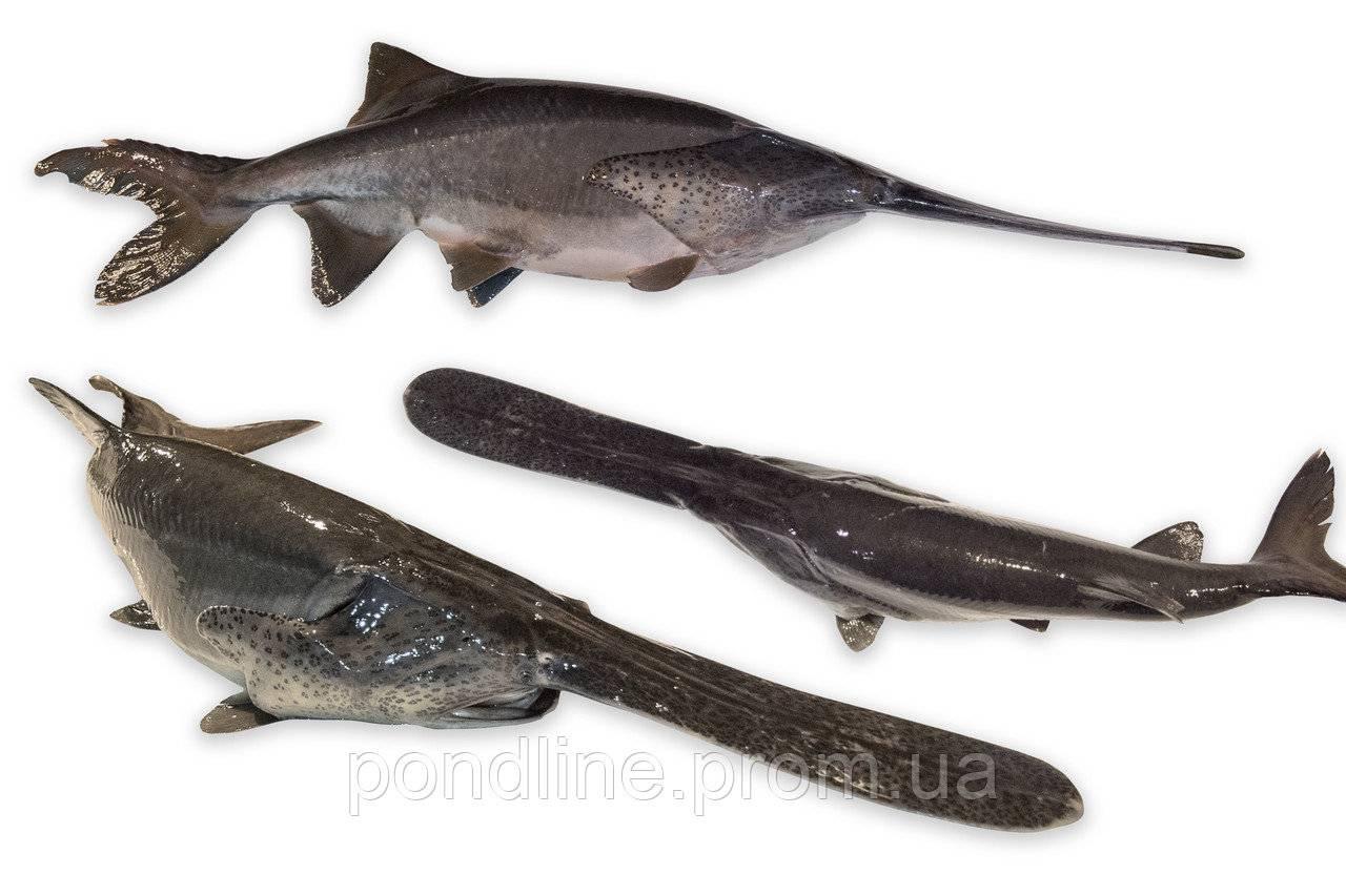 Рыба веслонос: рецепты
