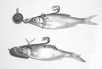 Ловля щуки на мертвую рыбку: правила оснастки