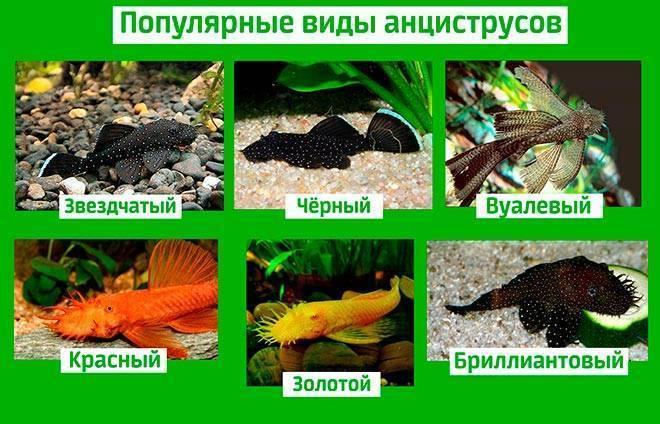 Как размножаются сомики в аквариуме (анциструсы, крапчатые, коридорасы, таракатумы): описание, видео, фото