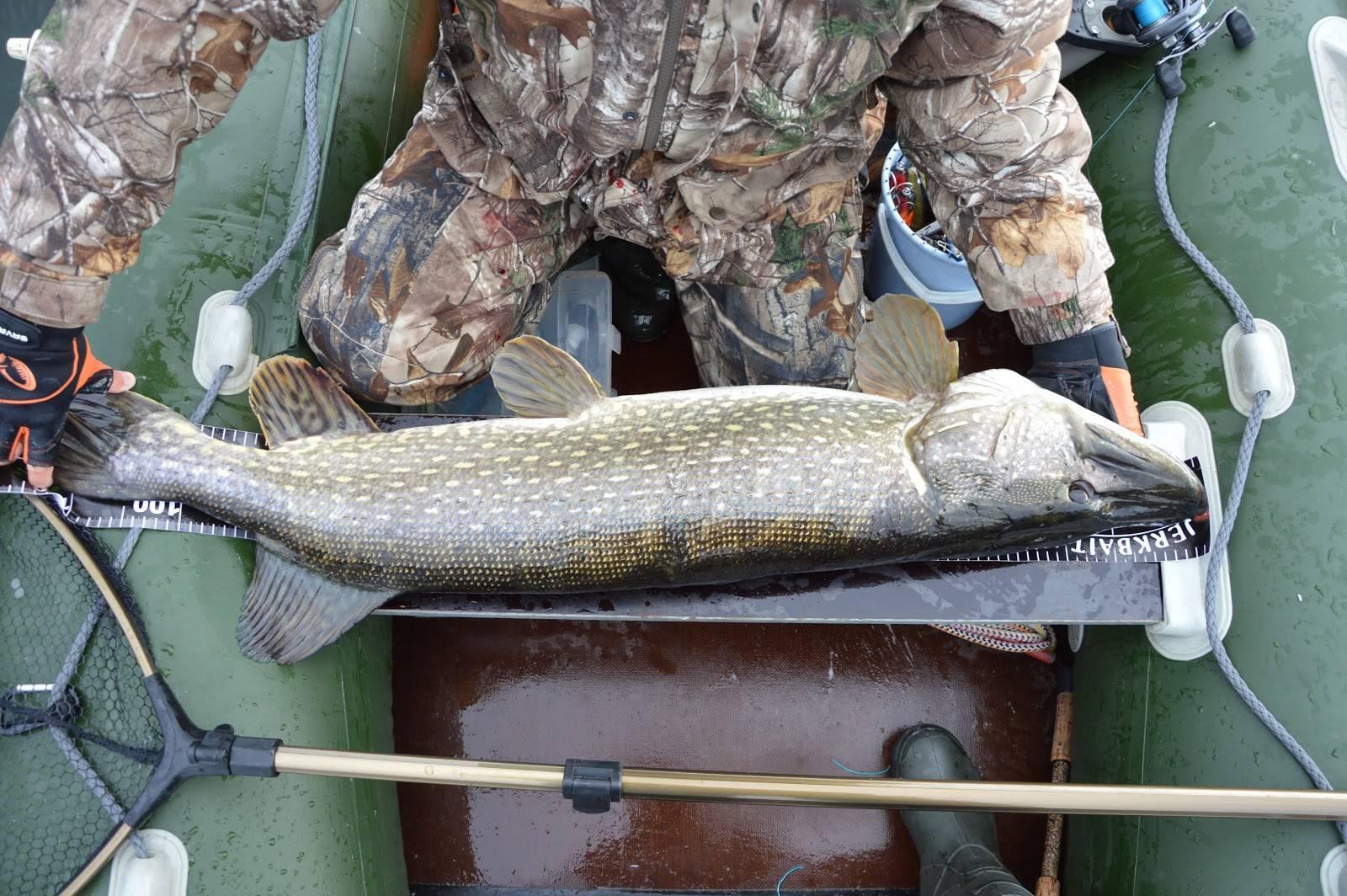 Как поймать трофейную щуку… - статьи о рыбалке
