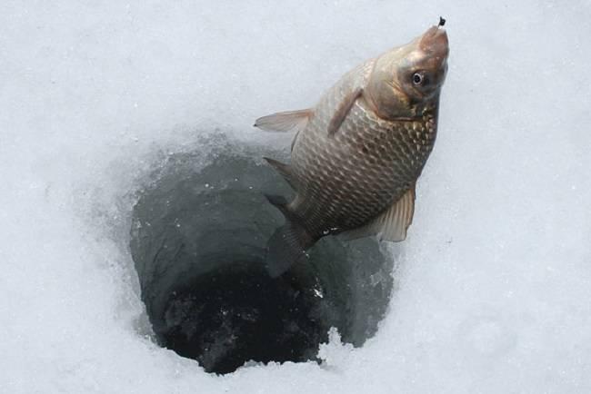 Как ловить карася зимой: по первому льду, в глухозимье и по последнему льду