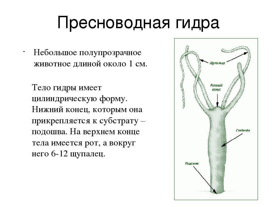 Пресноводная гидра дыхание. внешний вид, передвижение и питание пресноводной гидры. чем дышит гидра