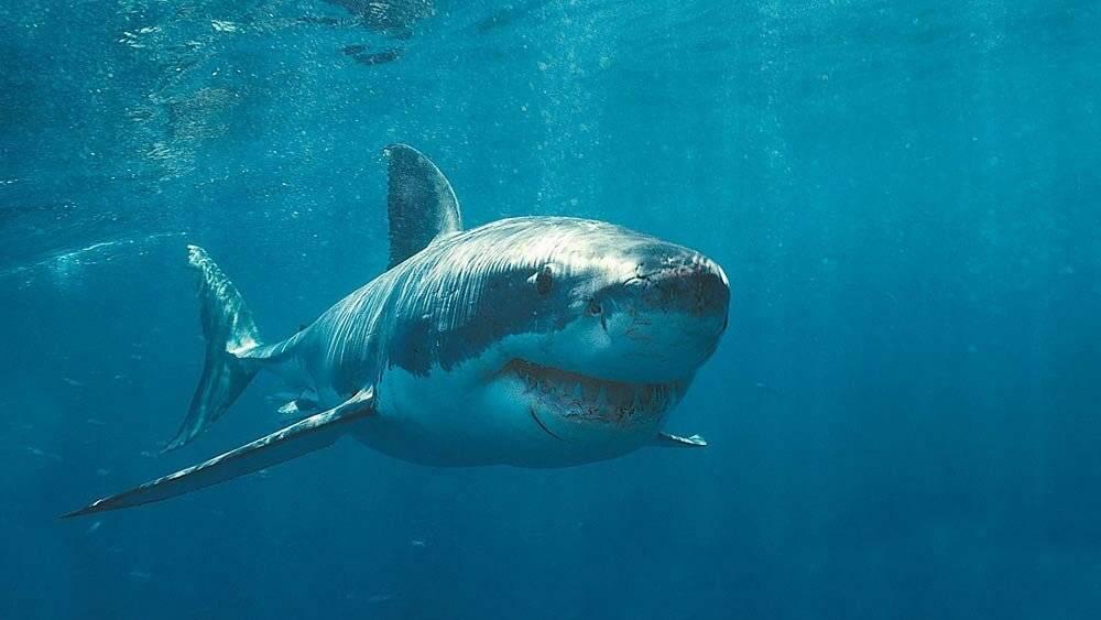 Акула катран: фото, приготовление, польза и вред