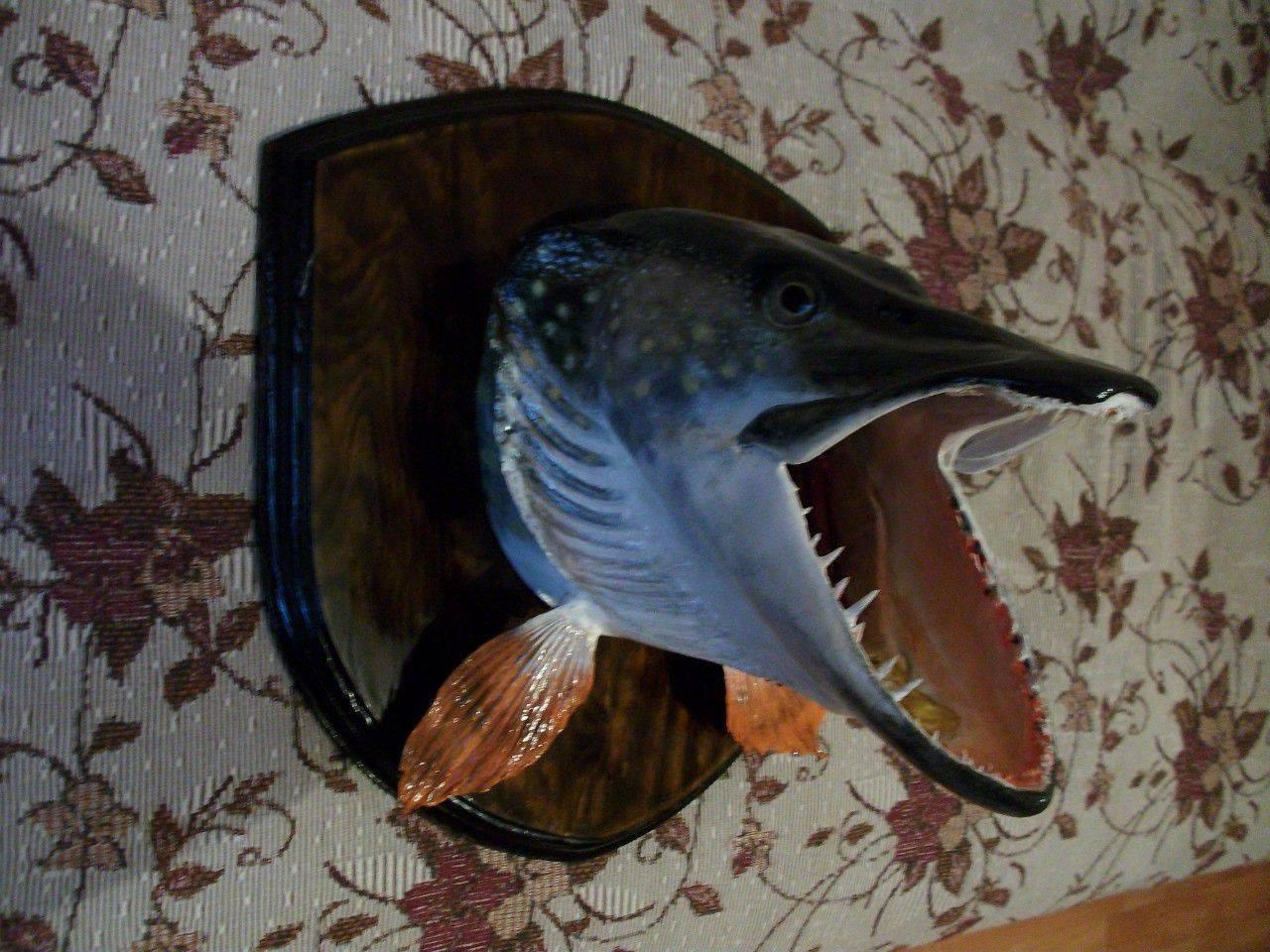 Чучело из головы щуки: рыболовный сувенир